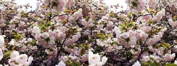 造幣局 桜の通り抜け⑤(平行法)