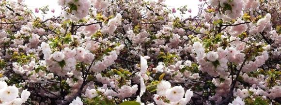 造幣局 桜の通り抜け⑤(交差法)