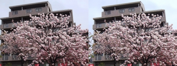造幣局 桜の通り抜け④(平行法)