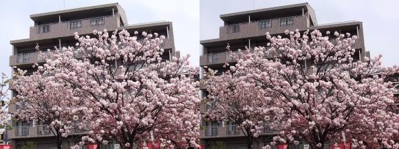 造幣局 桜の通り抜け④(交差法)