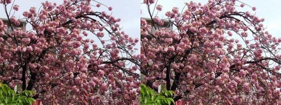 造幣局 桜の通り抜け③(平行法)