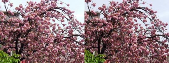 造幣局 桜の通り抜け③(交差法)