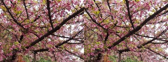 造幣局 桜の通り抜け②(平行法)