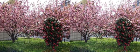 都島区東野田町の桜(平行法)