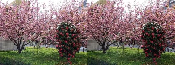 都島区東野田町の桜(交差法)