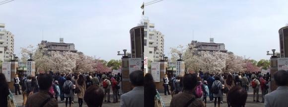 造幣局 桜の通り抜け 南門(平行法)