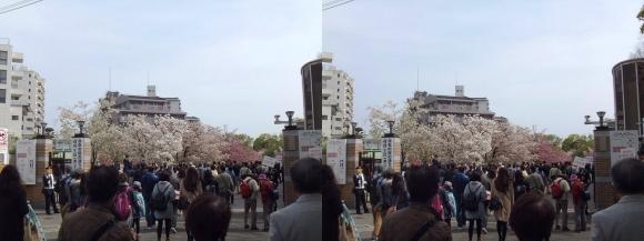 造幣局 桜の通り抜け 南門(交差法)