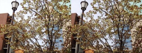 造幣局 桜の通り抜け⑯(交差法)