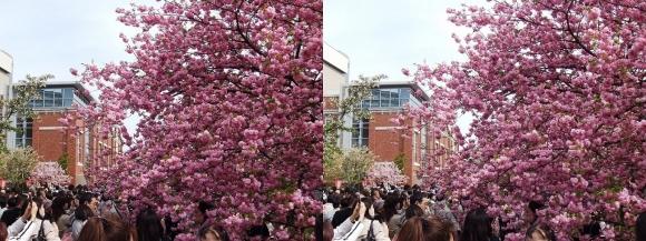 造幣局 桜の通り抜け⑭(平行法)