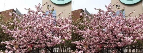 造幣局 桜の通り抜け⑰(交差法)