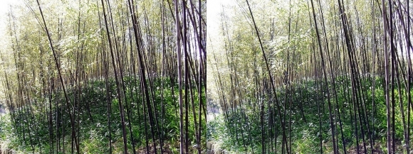 竹の資料館 生態園遊歩道③(平行法)