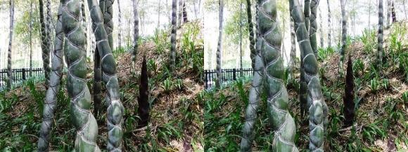 京都市洛西竹林公園 亀甲竹①(平行法)