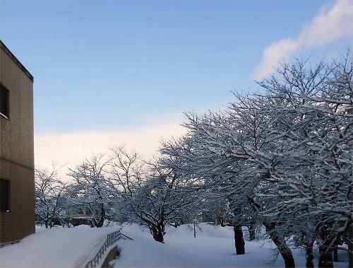 03 500 20150107 朝:桜並木:from雪の山