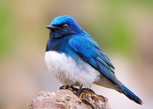 01 500 オオルリ a blue-and-white flycatcher
