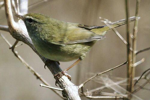 02 500 鶯うぐいす:Bush Warbler