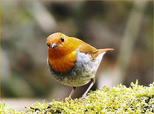 03 500 駒鳥こまどり:Robin