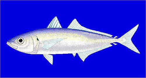 05a 500 ムロアジ: brownstriped mackerel scad