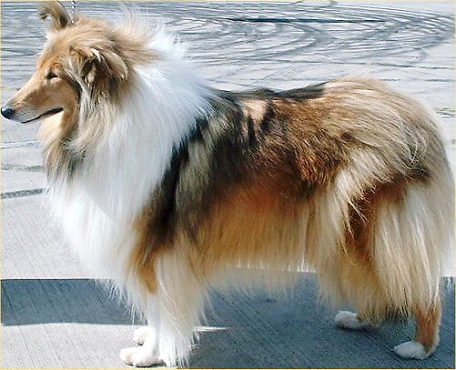 02 500 Rough Collie