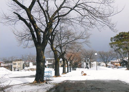 01 500 20150325 桜並木:雪解けと新雪 Erie