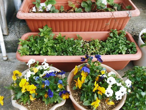 04 500 20150328 planter 苺、pansy