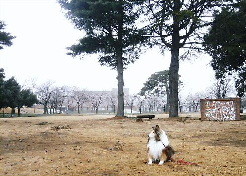 04 500 20150406 芝生公園toward桜並木:春雨 Erie01