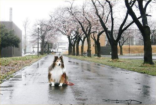 03 500 20150406 桜並木:春雨 Erie02zu