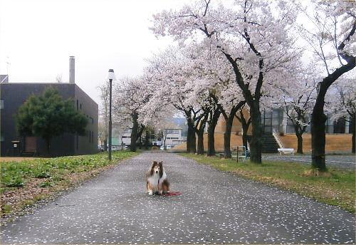 01 500 20150415 桜並木:散り始め Erie01