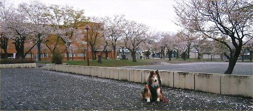 03 500 20150417 桜吹雪 from ふれあいH03 Erie toward 南葉山
