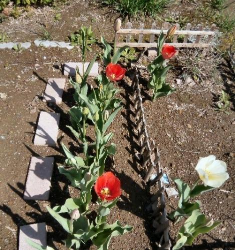 02c 500 20150423 LL菜園:tulips