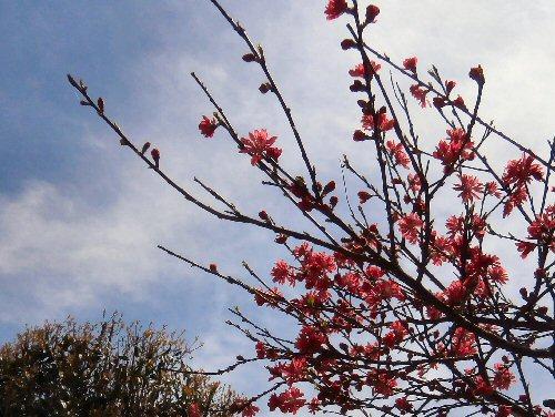 02e 500 20150422 LL菜園横:花桃blueshky