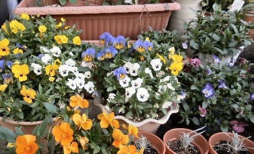 01 500 20150424 Viola full bloom