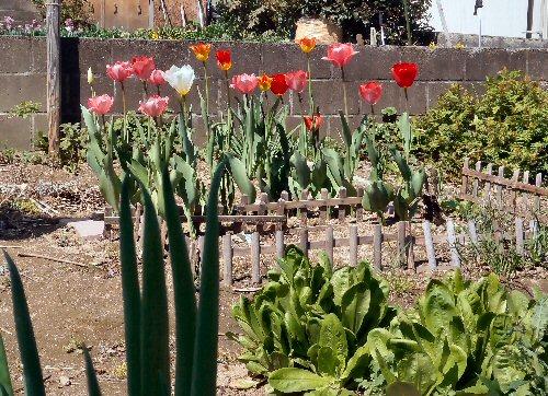 10 500 20150426 LL菜園:chicory tulip