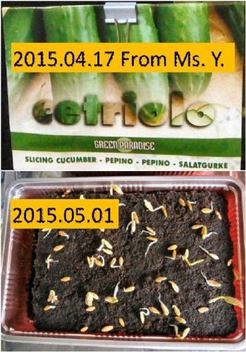 03 500 20150417 Italian cucumber cetriolo 0502発芽