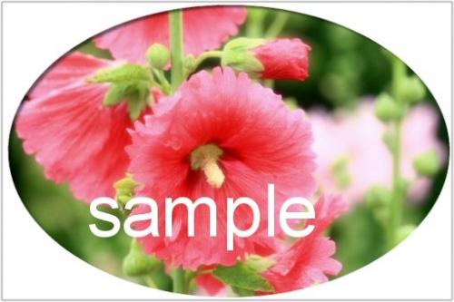 01c 500 hollyhock sample