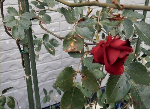 03 500 20150515 red rose