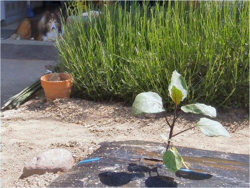 03 500 20150524 乾いた菜園:茄子、Lavender、Erie