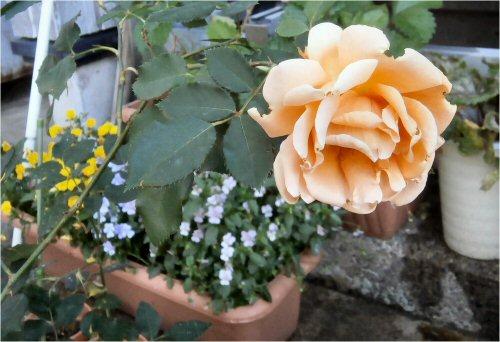 02 500 20150525 pink rose beside LL-doorway