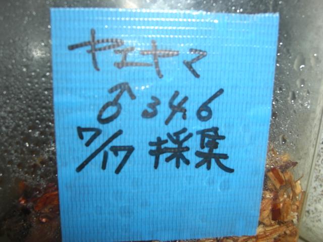 ヤエヤマ♂346