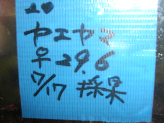 ヤエヤマ♀296