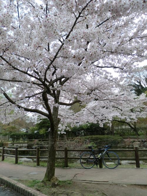 2015.桜ポタ・3