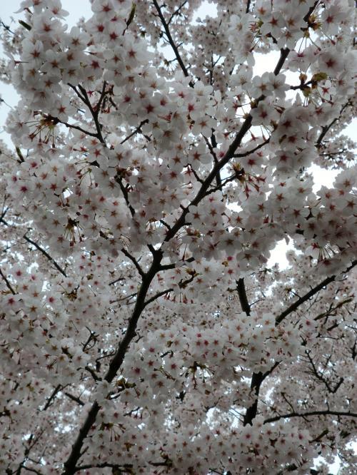 2015.桜ポタ・4
