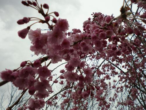 2015.桜ポタ・12