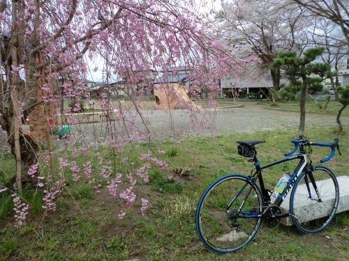 2015.桜ポタ・13