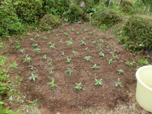 ジニアを植えた1