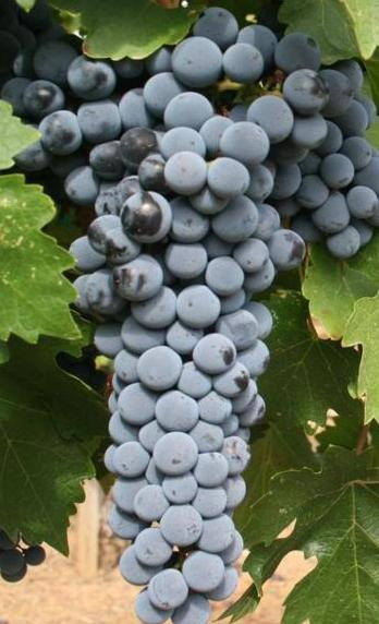 Red_Mountain_Cabernet_Sauvignon_grapes_from_Hedge_Vineyards.jpg