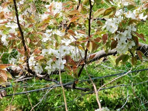 梨の花150422