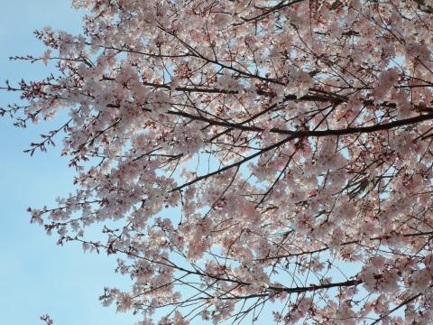 桜20151