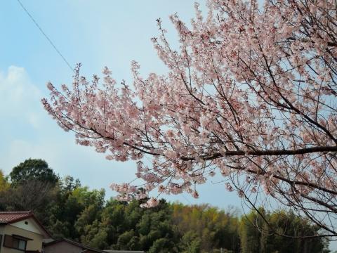 桜20156