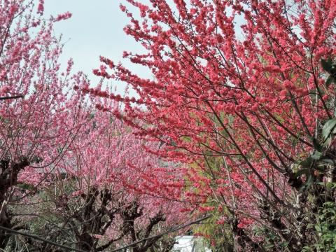 桜20153