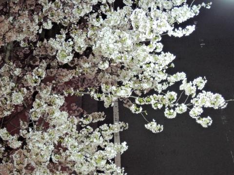 桜2015331